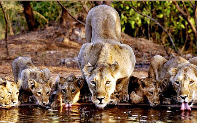 Lioness with cubs drinking water at a pond at gir national park